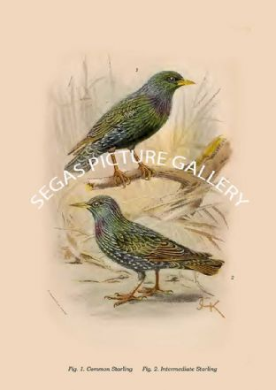 Common Starling - Intermediate Starling
